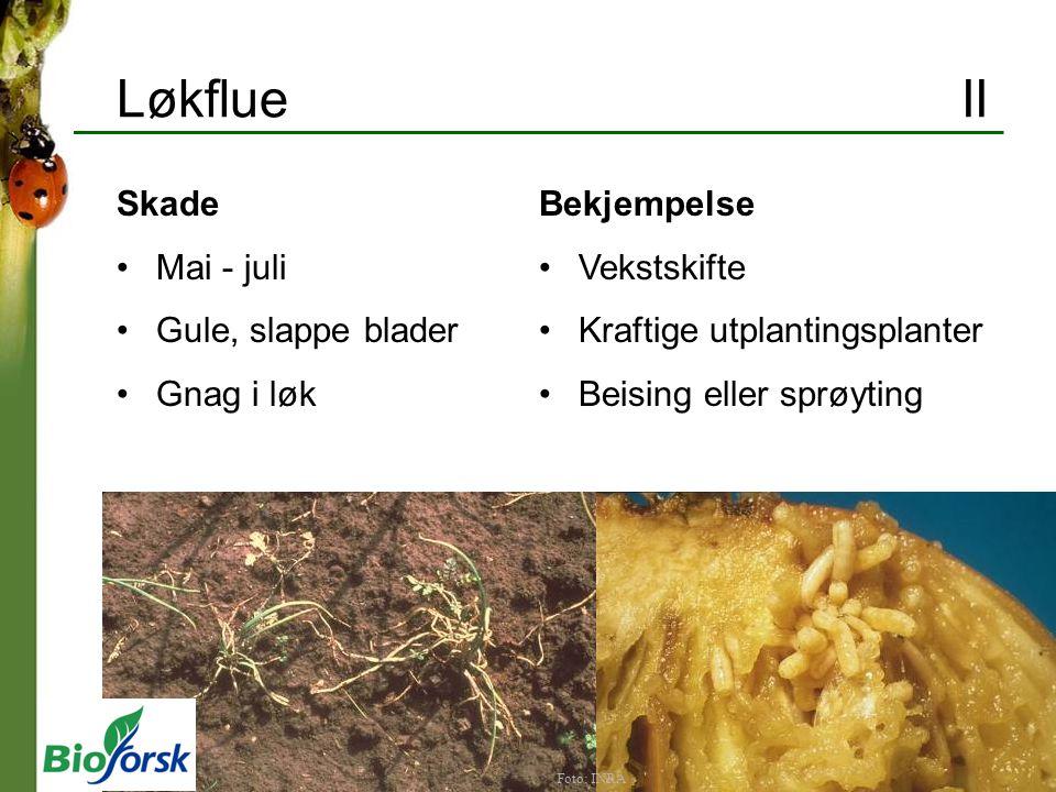 Løkflue II Skade Mai - juli Gule, slappe blader Gnag i løk Bekjempelse Vekstskifte Kraftige utplantingsplanter Beising eller sprøyting Foto: INRA
