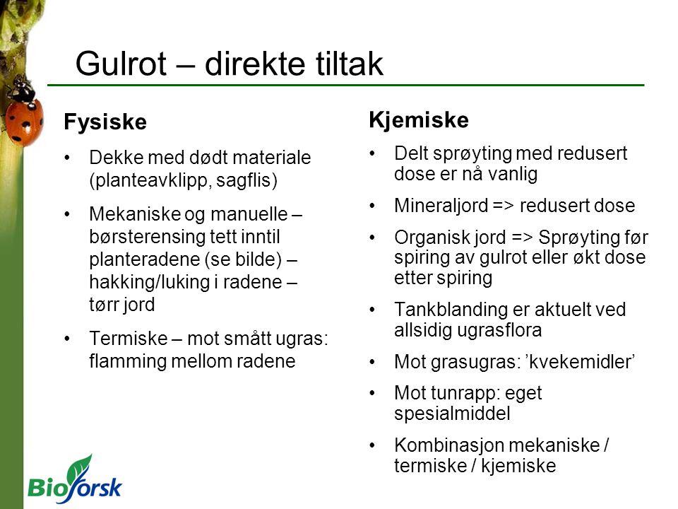 Gulrot – direkte tiltak Fysiske Dekke med dødt materiale (planteavklipp, sagflis) Mekaniske og manuelle – børsterensing tett inntil planteradene (se b