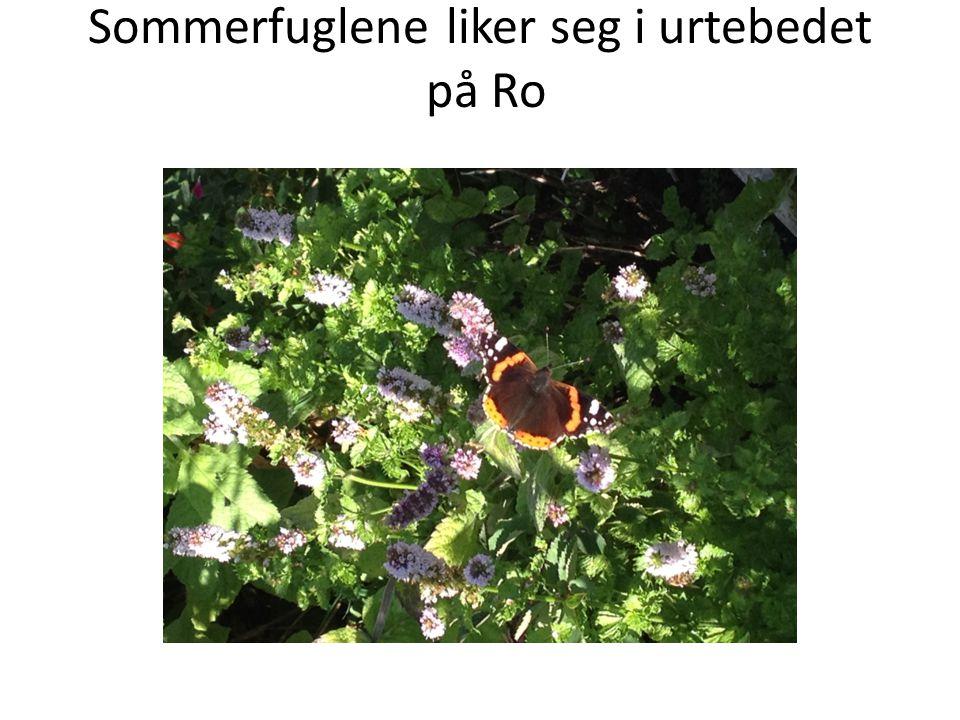 Sommerfuglene liker seg i urtebedet på Ro