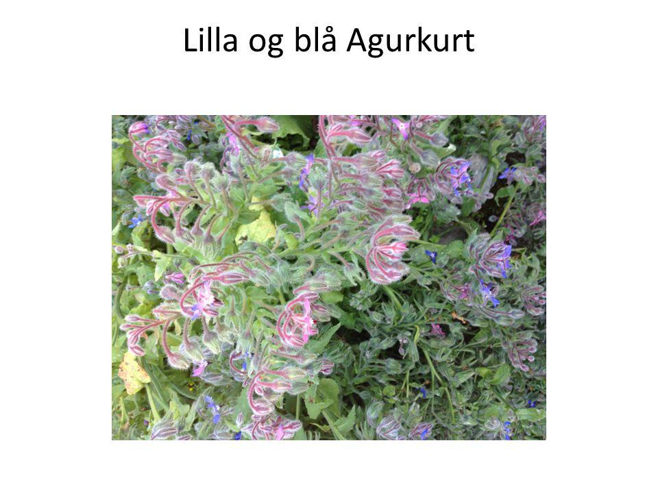 Lilla og blå Agurkurt