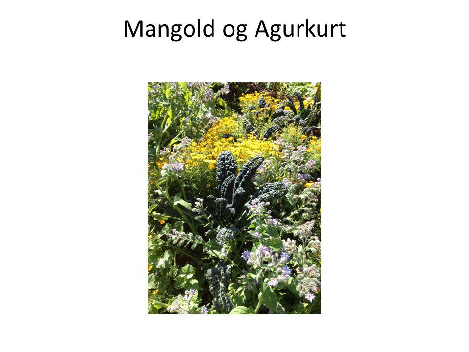 Mangold og Agurkurt