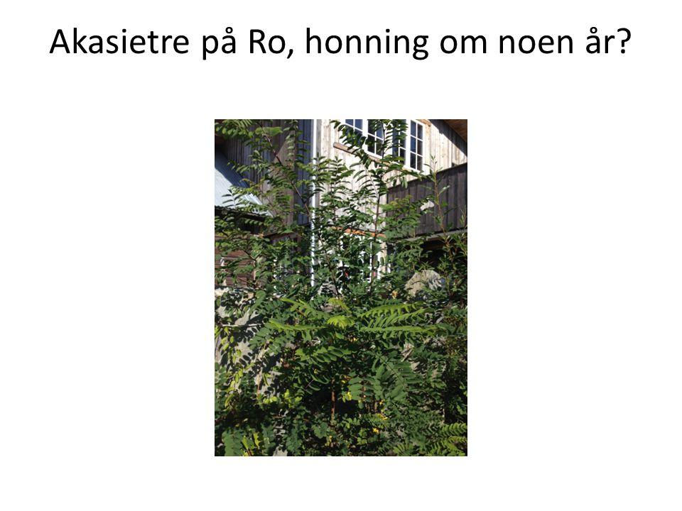 Akasietre på Ro, honning om noen år