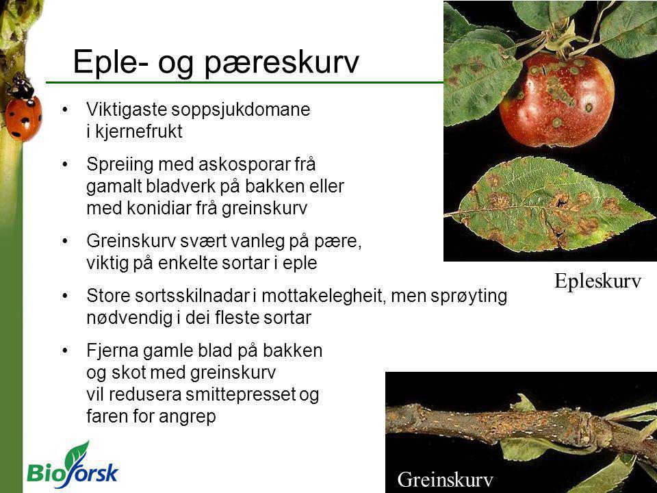 Greinskurv Eple- og pæreskurv Viktigaste soppsjukdomane i kjernefrukt Spreiing med askosporar frå gamalt bladverk på bakken eller med konidiar frå gre