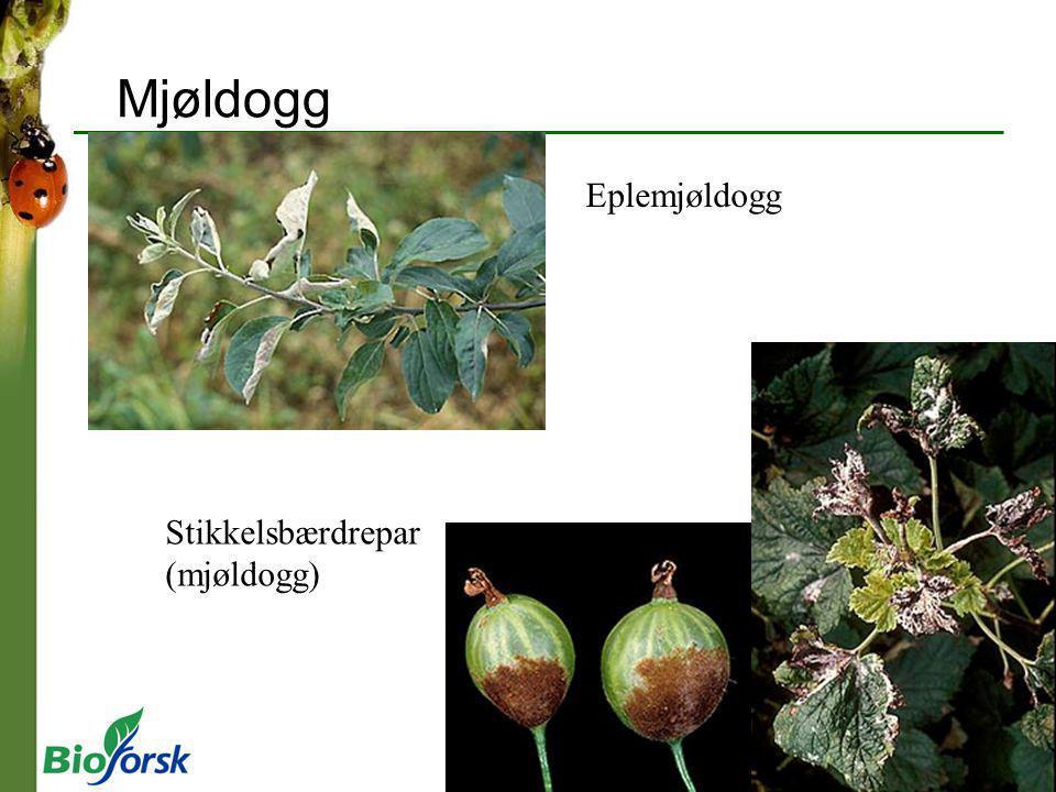 Eplemjøldogg Stikkelsbærdrepar (mjøldogg) Mjøldogg