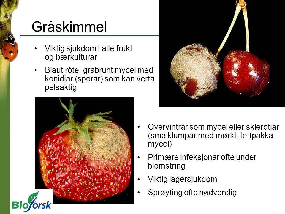Viktig sjukdom i alle frukt- og bærkulturar Blaut ròte, gråbrunt mycel med konidiar (sporar) som kan verta pelsaktig Gråskimmel Overvintrar som mycel