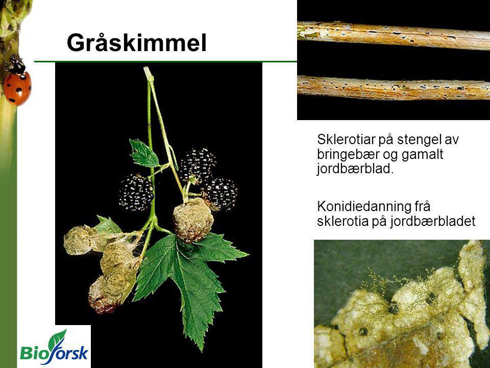 Gråskimmel Sklerotiar på stengel av bringebær og gamalt jordbærblad. Konidiedanning frå sklerotia på jordbærbladet