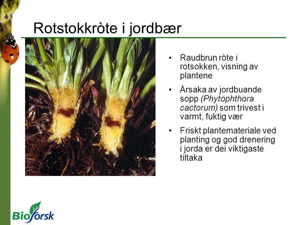 Raudbrun ròte i rotsokken, visning av plantene Årsaka av jordbuande sopp (Phytophthora cactorum) som trivest i varmt, fuktig vær Friskt plantematerial