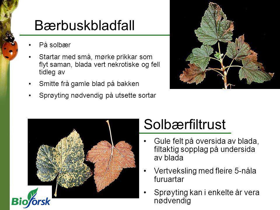 Bærbuskbladfall Solbærfiltrust Gule felt på oversida av blada, filtaktig sopplag på undersida av blada Vertveksling med fleire 5-nåla furuartar Sprøyt