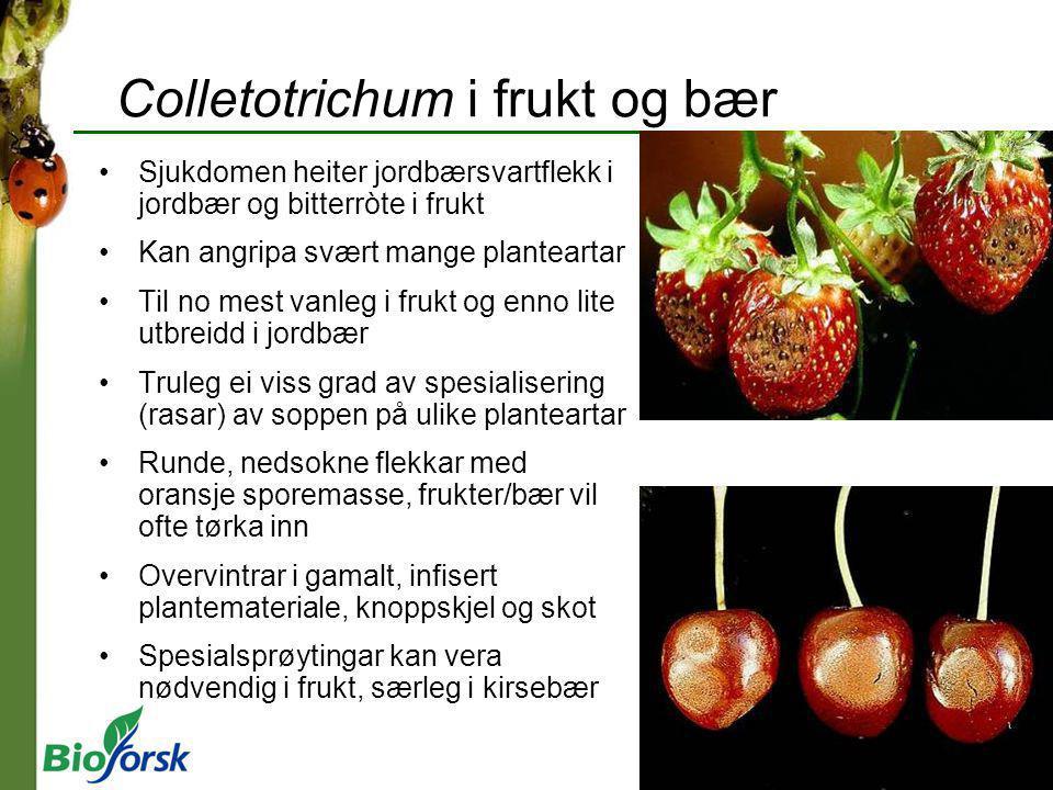 Colletotrichum i frukt og bær Sjukdomen heiter jordbærsvartflekk i jordbær og bitterròte i frukt Kan angripa svært mange planteartar Til no mest vanle