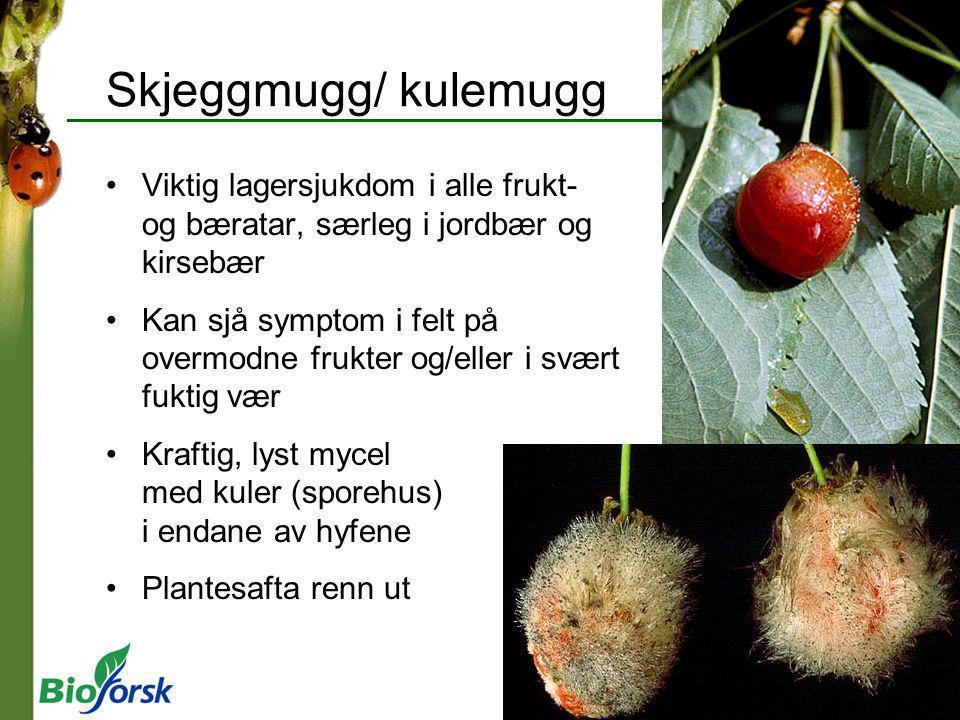 Skjeggmugg/ kulemugg Viktig lagersjukdom i alle frukt- og bæratar, særleg i jordbær og kirsebær Kan sjå symptom i felt på overmodne frukter og/eller i