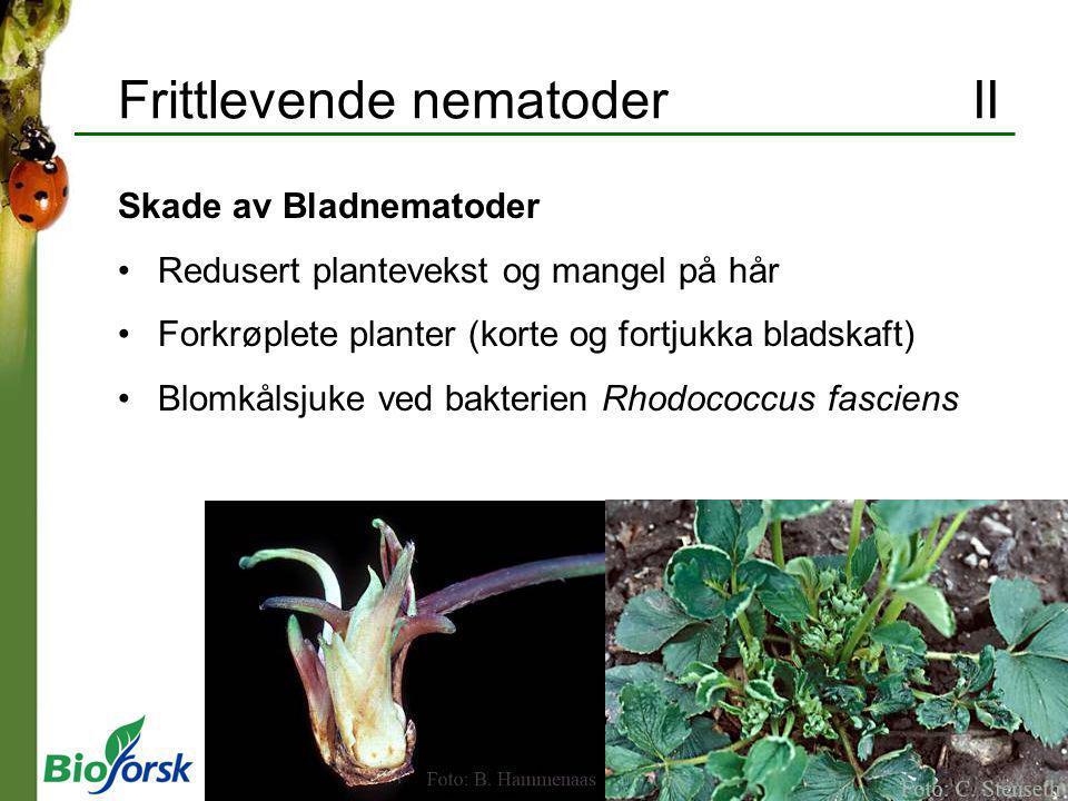 Frittlevende nematoderII Skade av Bladnematoder Redusert plantevekst og mangel på hår Forkrøplete planter (korte og fortjukka bladskaft) Blomkålsjuke