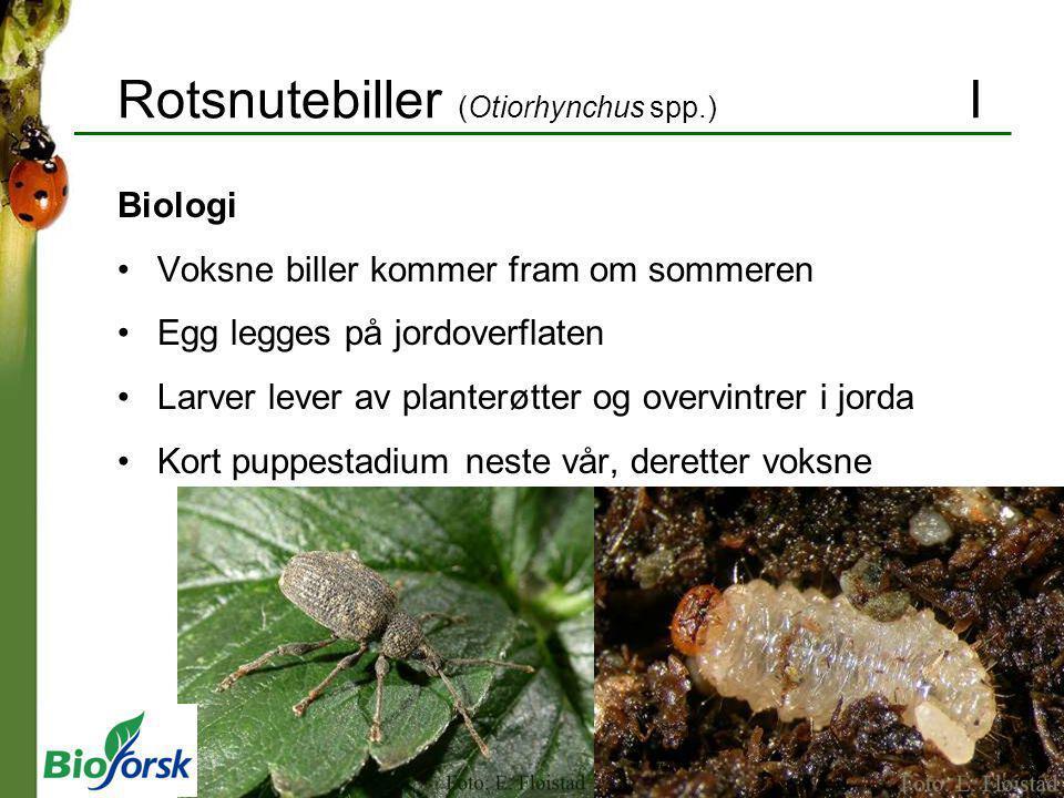 Rotsnutebiller (Otiorhynchus spp.) I Biologi Voksne biller kommer fram om sommeren Egg legges på jordoverflaten Larver lever av planterøtter og overvi