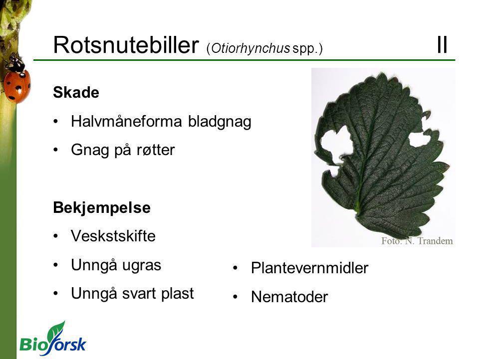Rotsnutebiller (Otiorhynchus spp.) II Skade Halvmåneforma bladgnag Gnag på røtter Bekjempelse Veskstskifte Unngå ugras Unngå svart plast Plantevernmid