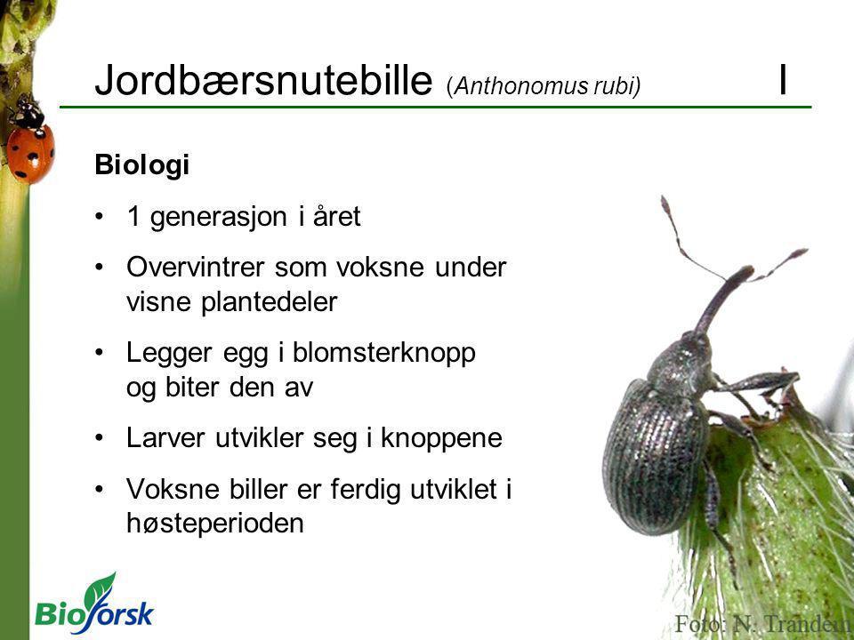 Jordbærsnutebille (Anthonomus rubi) I Biologi 1 generasjon i året Overvintrer som voksne under visne plantedeler Legger egg i blomsterknopp og biter d
