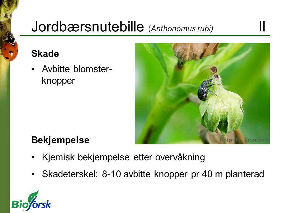 Jordbærsnutebille (Anthonomus rubi) II Bekjempelse Kjemisk bekjempelse etter overvåkning Skadeterskel: 8-10 avbitte knopper pr 40 m planterad Skade Av