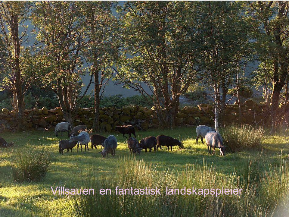Villsauen en fantastisk landskapspleier