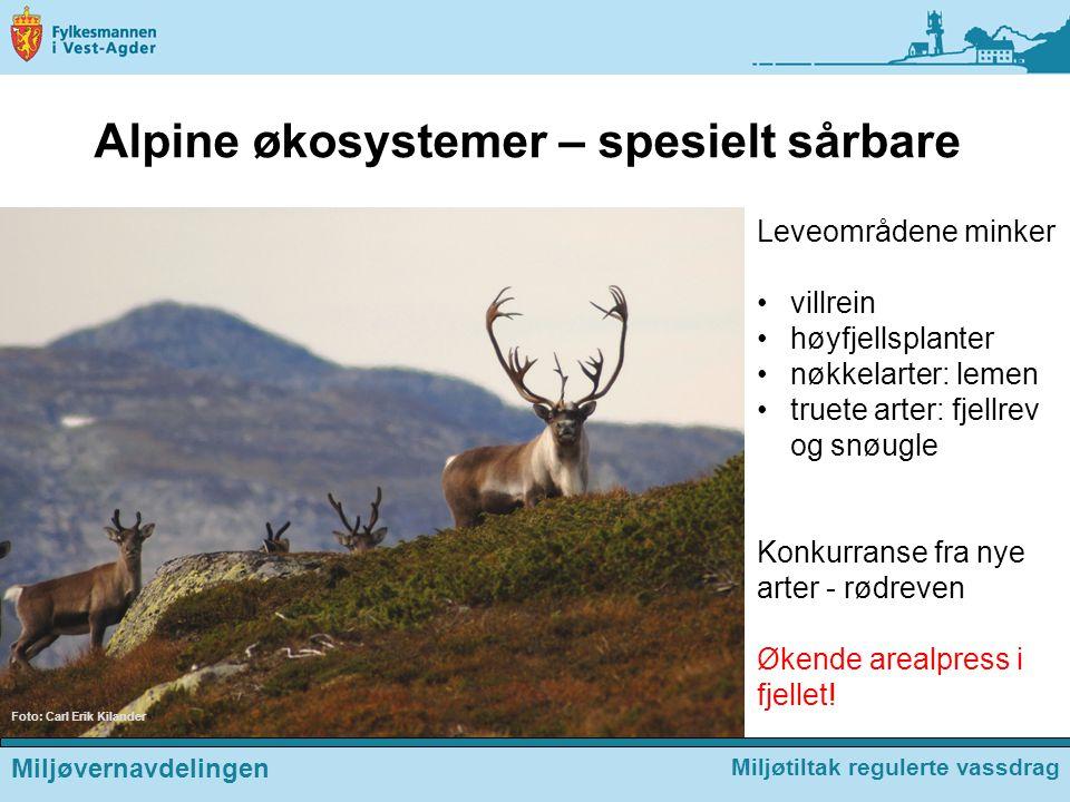 Alpine økosystemer – spesielt sårbare Foto: Carl Erik Kilander Leveområdene minker villrein høyfjellsplanter nøkkelarter: lemen truete arter: fjellrev