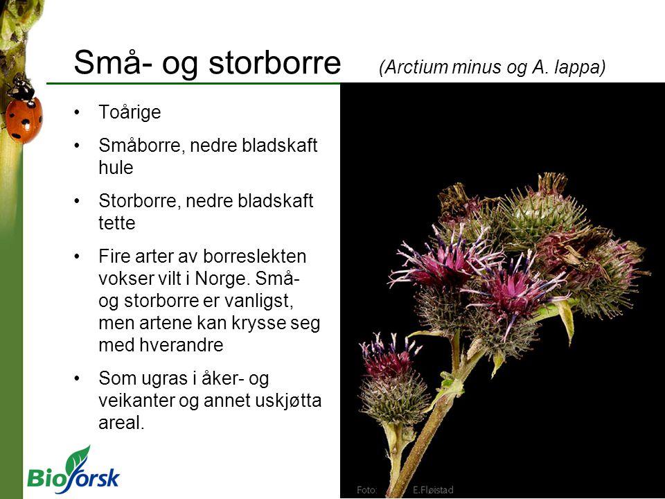 Små- og storborre (Arctium minus og A. lappa) Toårige Småborre, nedre bladskaft hule Storborre, nedre bladskaft tette Fire arter av borreslekten vokse