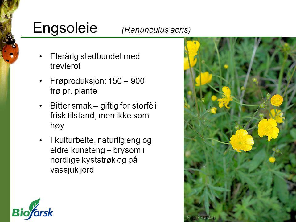 Engsoleie (Ranunculus acris) Flerårig stedbundet med trevlerot Frøproduksjon: 150 – 900 frø pr. plante Bitter smak – giftig for storfè i frisk tilstan