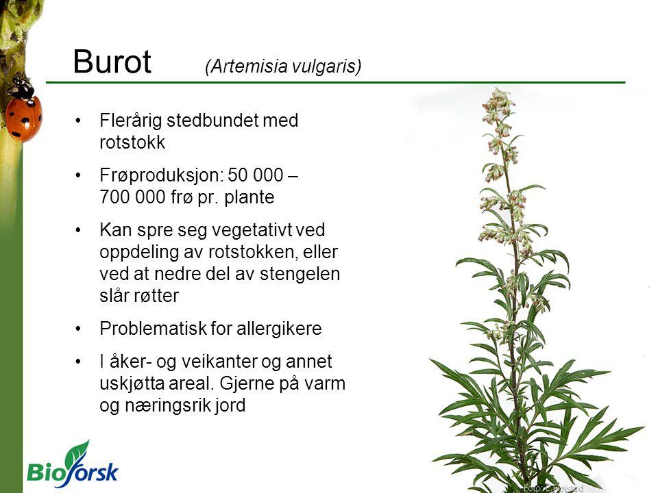 Burot (Artemisia vulgaris) Flerårig stedbundet med rotstokk Frøproduksjon: 50 000 – 700 000 frø pr. plante Kan spre seg vegetativt ved oppdeling av ro