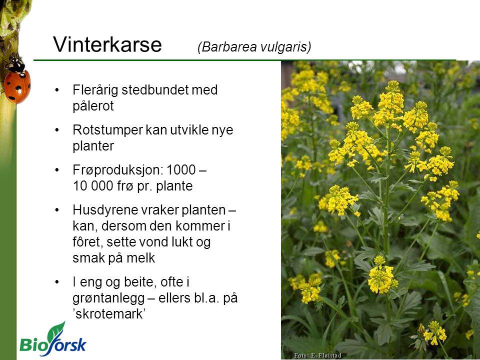 Vinterkarse (Barbarea vulgaris) Flerårig stedbundet med pålerot Rotstumper kan utvikle nye planter Frøproduksjon: 1000 – 10 000 frø pr. plante Husdyre