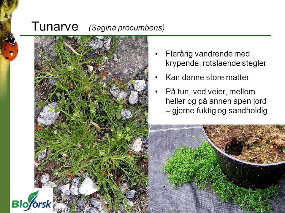 Tunarve (Sagina procumbens) Flerårig vandrende med krypende, rotslående stegler Kan danne store matter På tun, ved veier, mellom heller og på annen åp