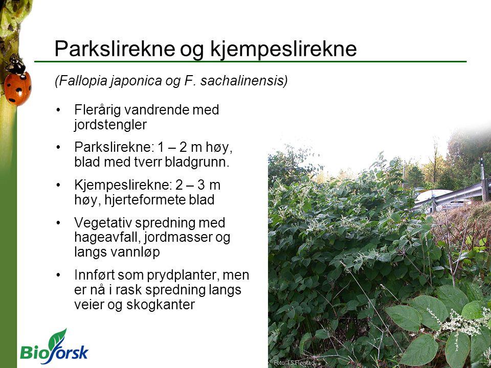 Parkslirekne og kjempeslirekne (Fallopia japonica og F. sachalinensis) Flerårig vandrende med jordstengler Parkslirekne: 1 – 2 m høy, blad med tverr b
