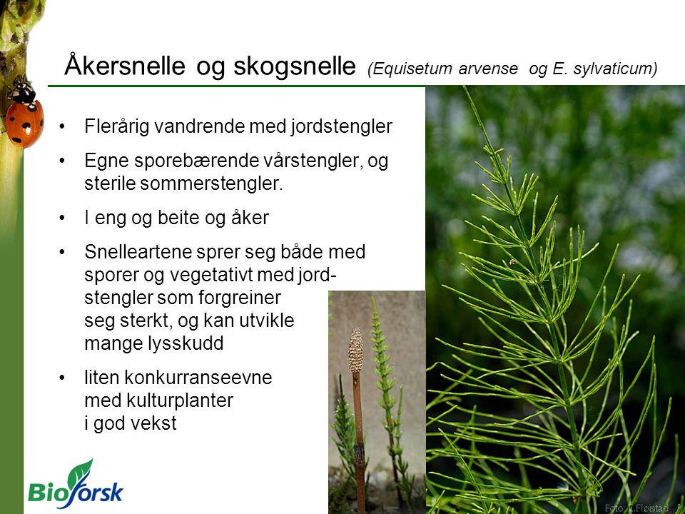 Åkersnelle og skogsnelle (Equisetum arvense og E. sylvaticum) Flerårig vandrende med jordstengler Egne sporebærende vårstengler, og sterile sommersten