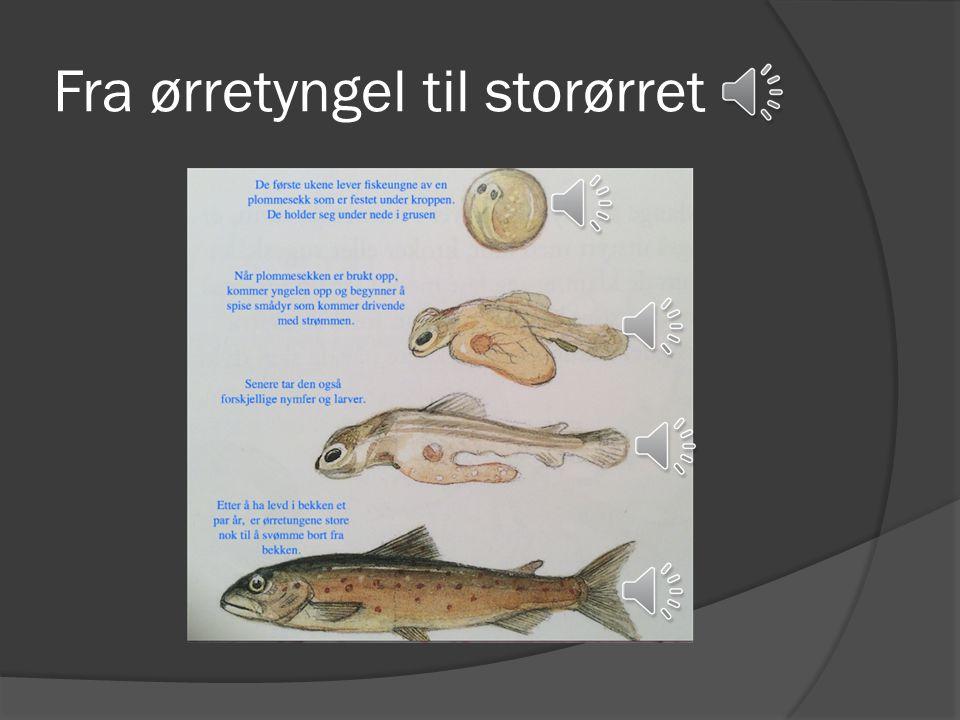 Sjøørret  Lever i både saltvann og ferskvann. Holder seg langs kysten og inne i fjordene.