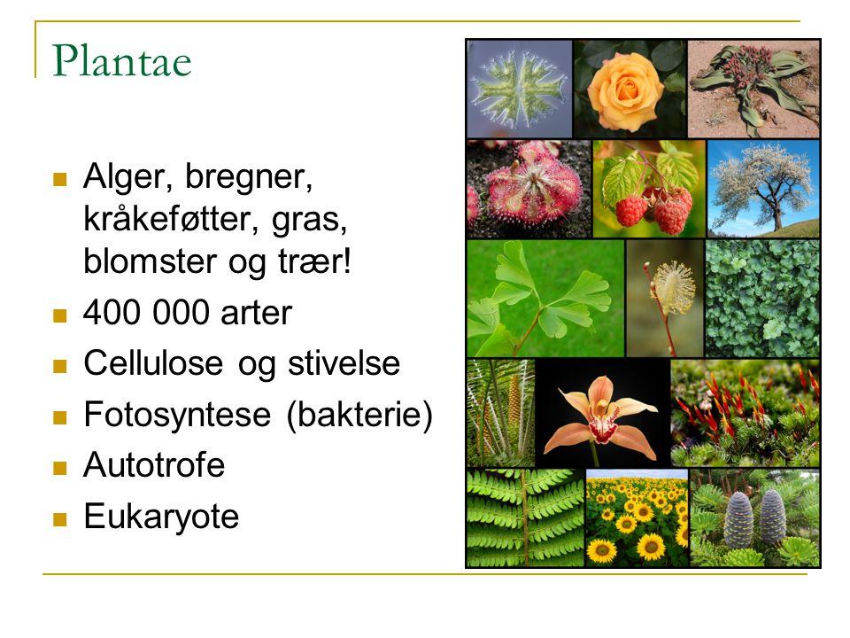 Plantae Alger, bregner, kråkeføtter, gras, blomster og trær! 400 000 arter Cellulose og stivelse Fotosyntese (bakterie) Autotrofe Eukaryote