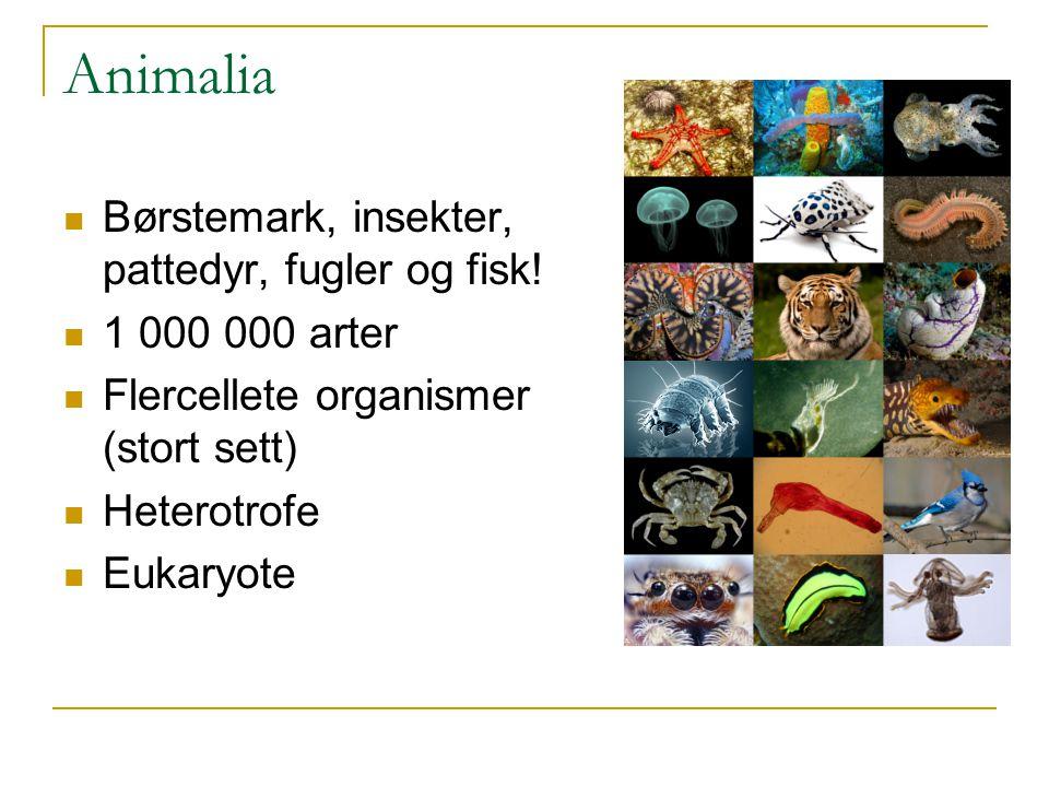 Animalia Børstemark, insekter, pattedyr, fugler og fisk! 1 000 000 arter Flercellete organismer (stort sett) Heterotrofe Eukaryote
