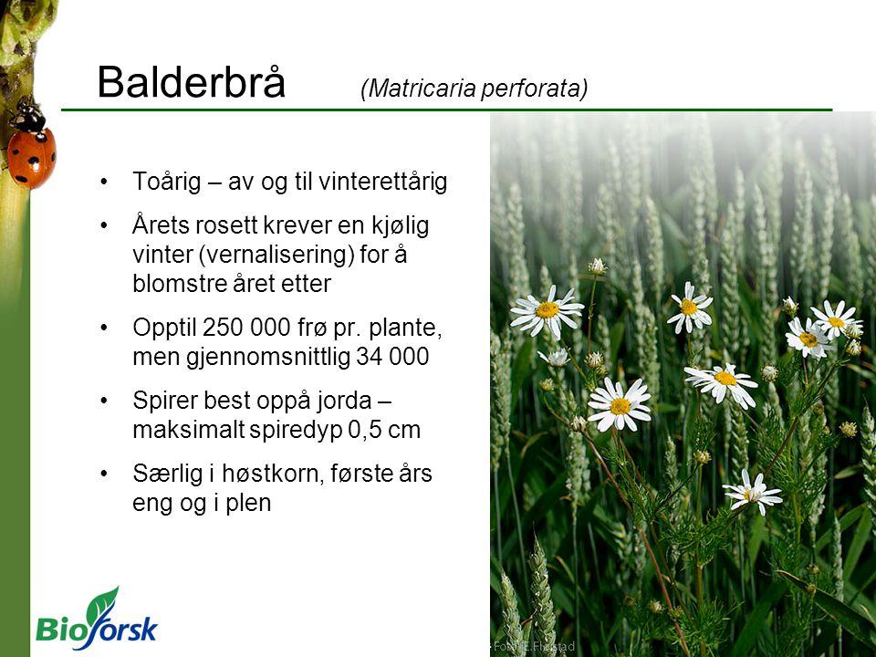 Balderbrå (Matricaria perforata) Toårig – av og til vinterettårig Årets rosett krever en kjølig vinter (vernalisering) for å blomstre året etter Opptil 250 000 frø pr.
