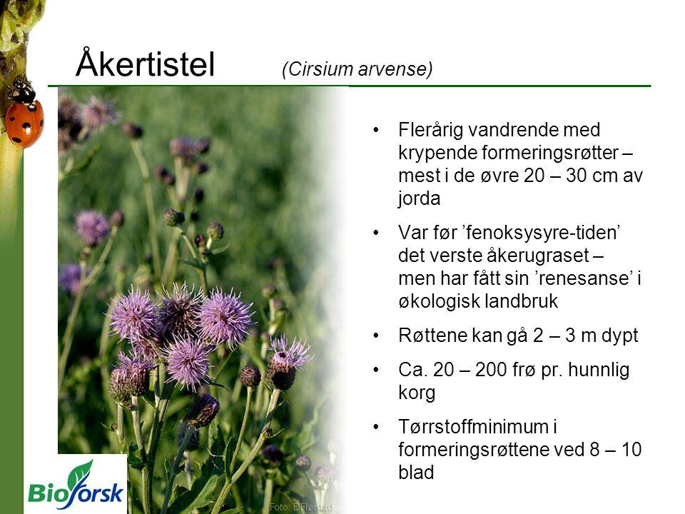 Åkertistel (Cirsium arvense) Flerårig vandrende med krypende formeringsrøtter – mest i de øvre 20 – 30 cm av jorda Var før 'fenoksysyre-tiden' det verste åkerugraset – men har fått sin 'renesanse' i økologisk landbruk Røttene kan gå 2 – 3 m dypt Ca.