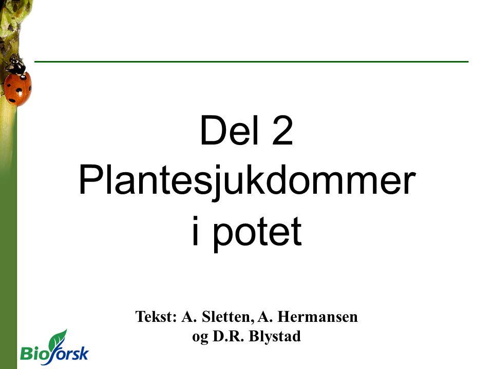 Del 2 Plantesjukdommer i potet Tekst: A. Sletten, A. Hermansen og D.R. Blystad