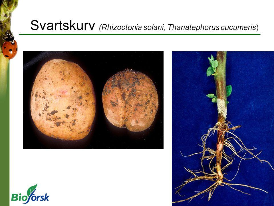 Svartskurv (Rhizoctonia solani, Thanatephorus cucumeris)