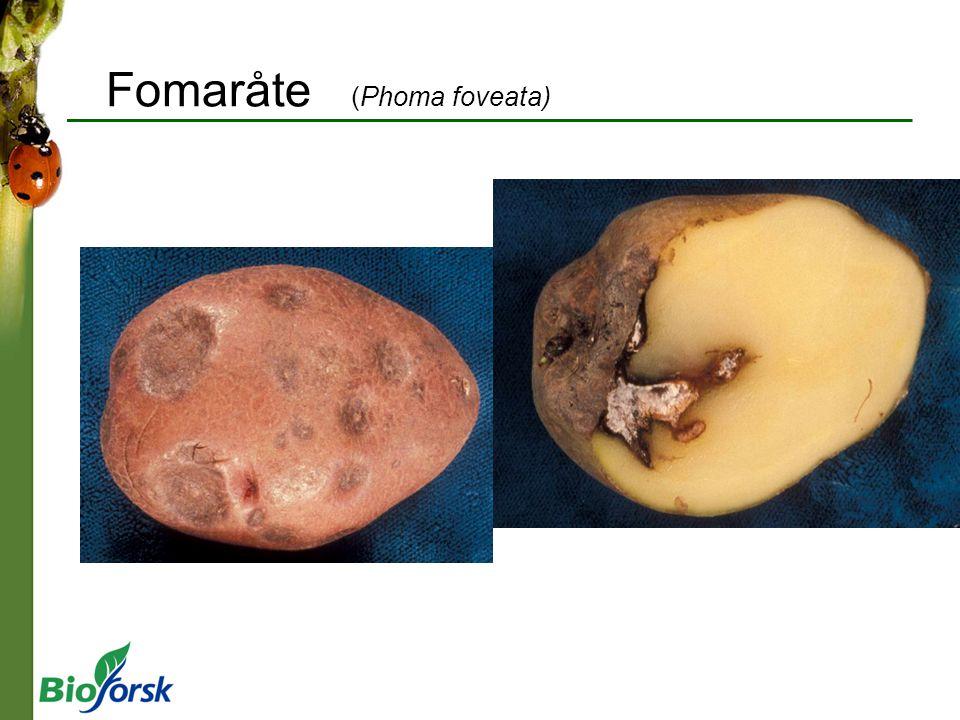 Fomaråte (Phoma foveata)