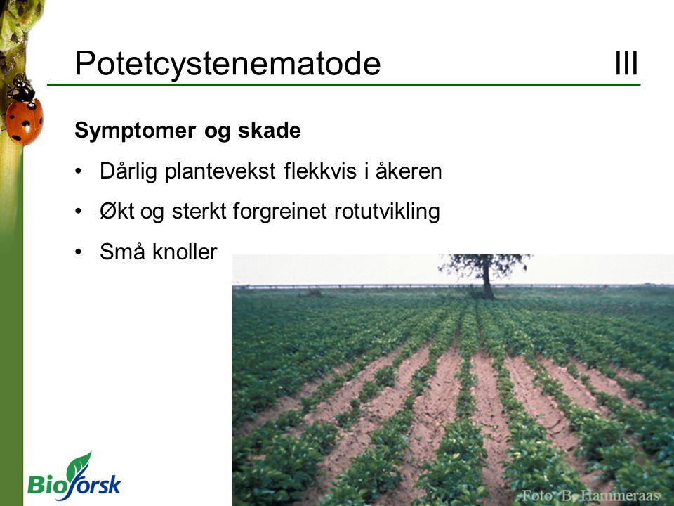 Potetcystenematode III Symptomer og skade Dårlig plantevekst flekkvis i åkeren Økt og sterkt forgreinet rotutvikling Små knoller