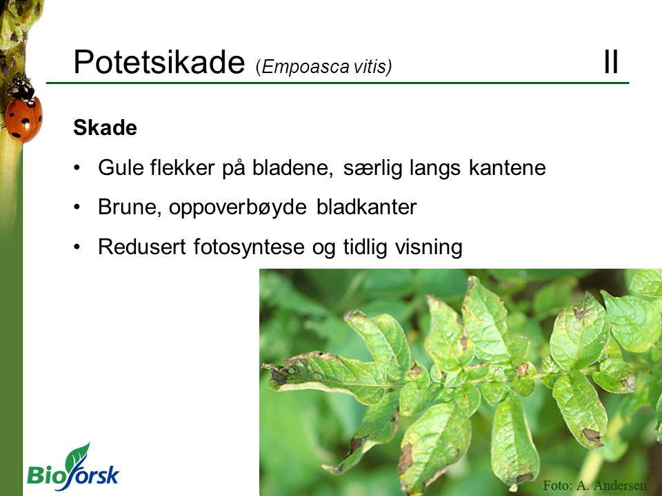 Potetsikade (Empoasca vitis) II Skade Gule flekker på bladene, særlig langs kantene Brune, oppoverbøyde bladkanter Redusert fotosyntese og tidlig visning