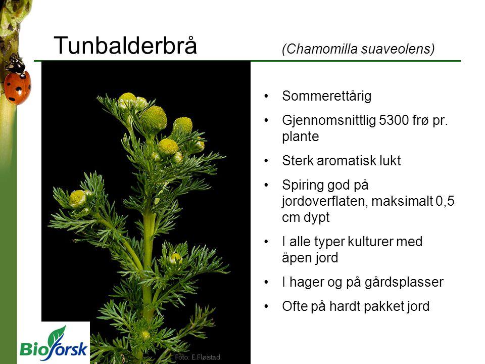 Tunrapp (Poa annua) Vinterettårig eller flerårig Gjennomsnittlig 450 frø pr.