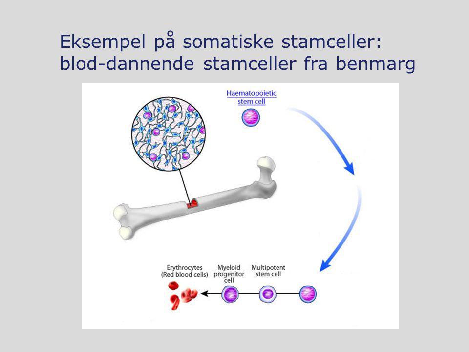 Eksempel på somatiske stamceller: blod-dannende stamceller fra benmarg