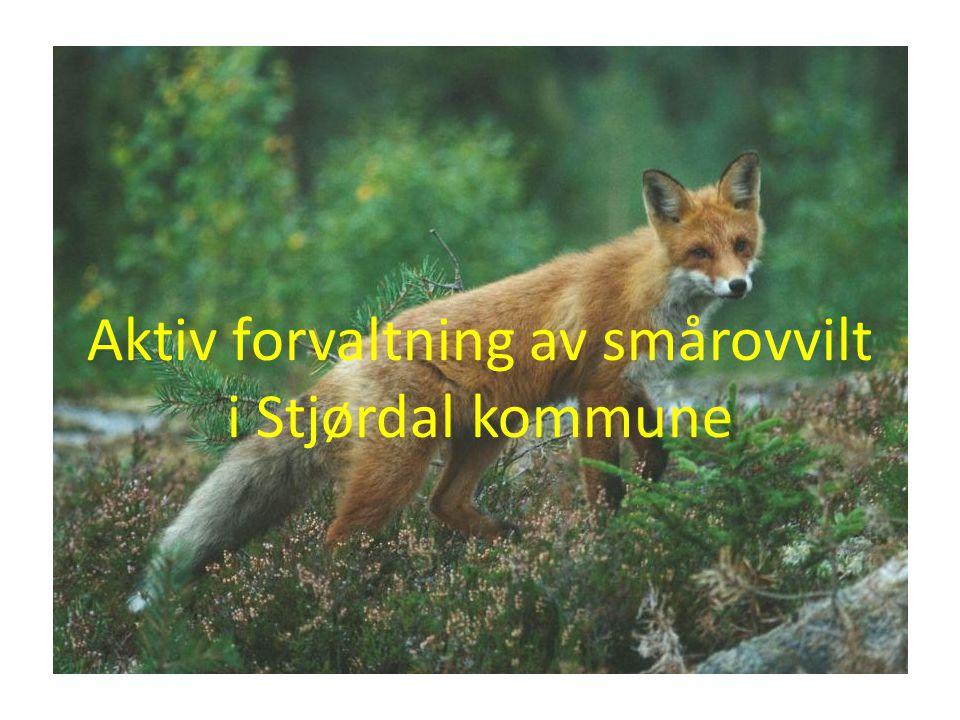 Aktiv forvaltning av smårovvilt i Stjørdal kommune