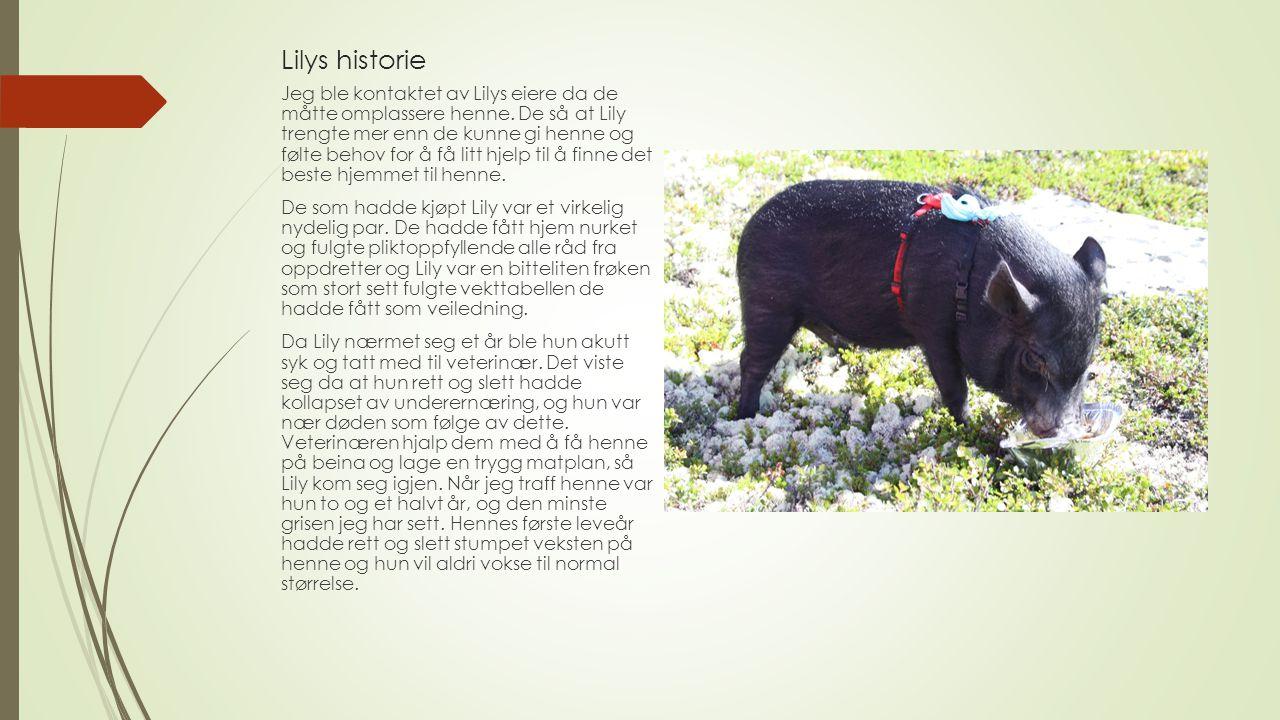 Lilys historie Jeg ble kontaktet av Lilys eiere da de måtte omplassere henne. De så at Lily trengte mer enn de kunne gi henne og følte behov for å få