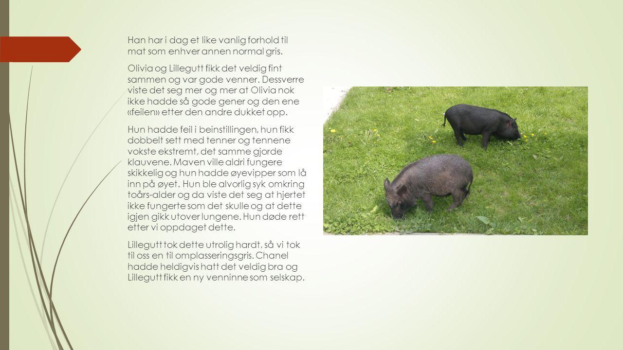 Han har i dag et like vanlig forhold til mat som enhver annen normal gris. Olivia og Lillegutt fikk det veldig fint sammen og var gode venner. Dessver