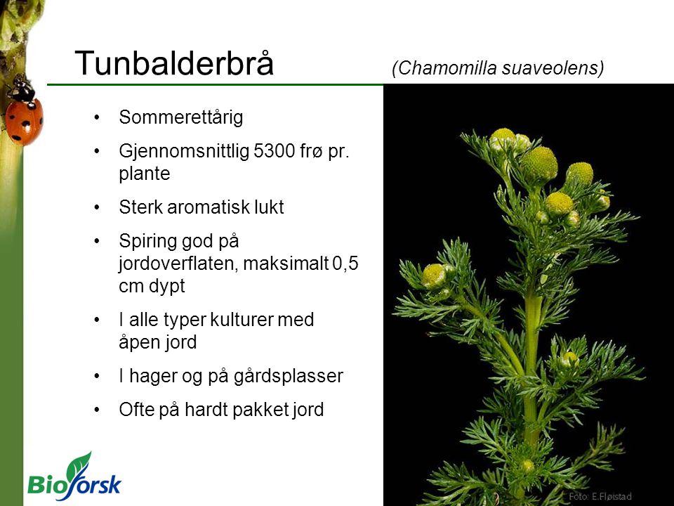 Tunbalderbrå (Chamomilla suaveolens) Sommerettårig Gjennomsnittlig 5300 frø pr. plante Sterk aromatisk lukt Spiring god på jordoverflaten, maksimalt 0