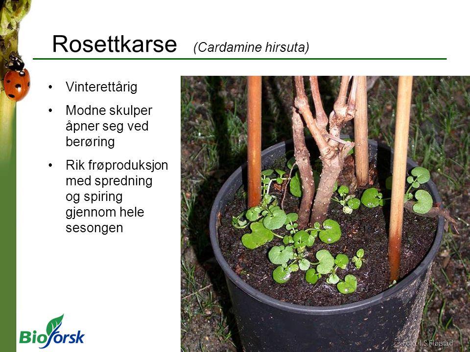Rosettkarse (Cardamine hirsuta) Vinterettårig Modne skulper åpner seg ved berøring Rik frøproduksjon med spredning og spiring gjennom hele sesongen