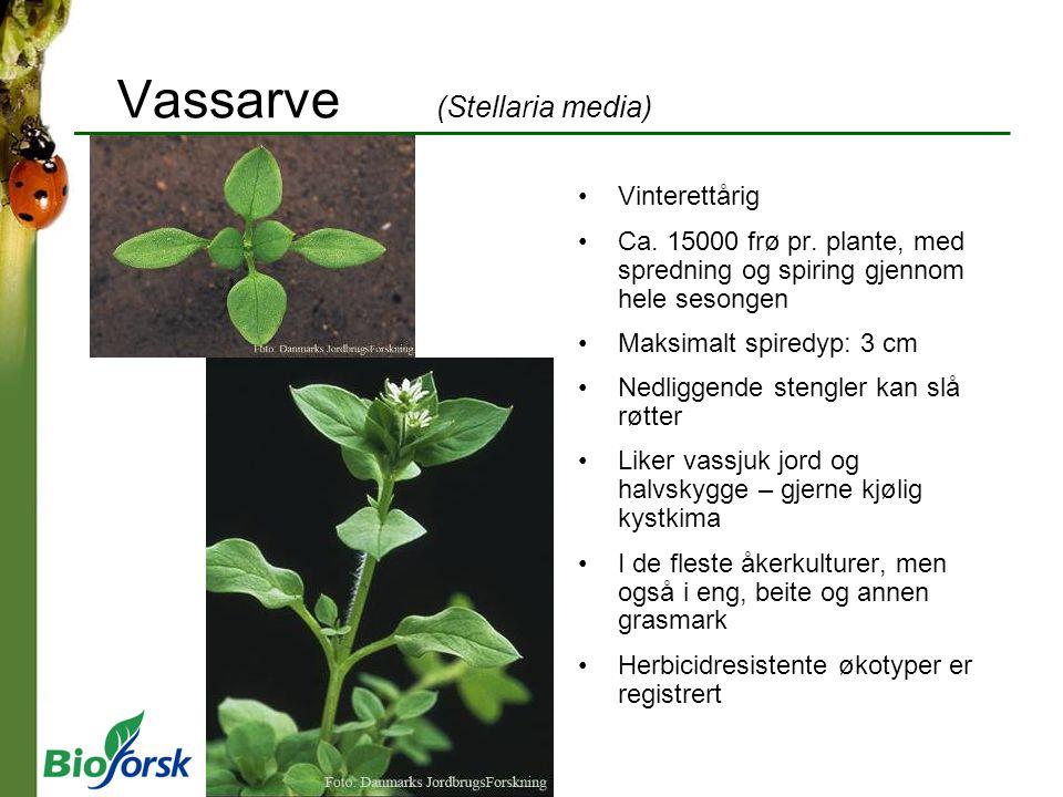 Vassarve (Stellaria media) Vinterettårig Ca. 15000 frø pr. plante, med spredning og spiring gjennom hele sesongen Maksimalt spiredyp: 3 cm Nedliggende