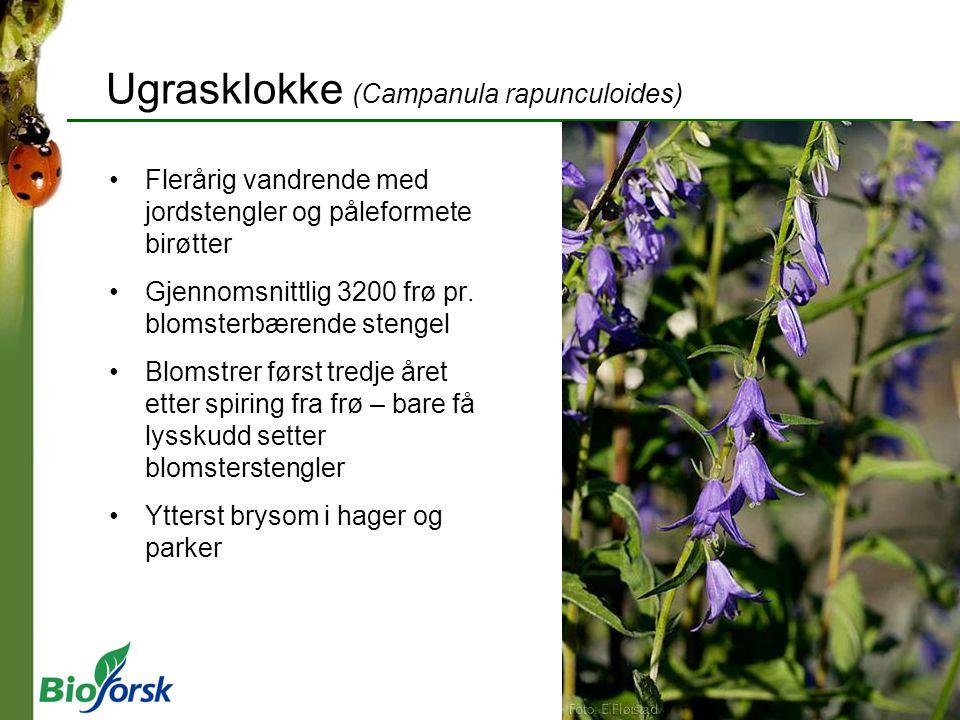 Ugrasklokke (Campanula rapunculoides) Flerårig vandrende med jordstengler og påleformete birøtter Gjennomsnittlig 3200 frø pr. blomsterbærende stengel