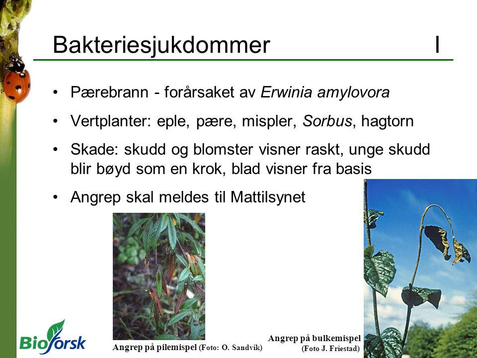 BakteriesjukdommerI Pærebrann - forårsaket av Erwinia amylovora Vertplanter: eple, pære, mispler, Sorbus, hagtorn Skade: skudd og blomster visner rask