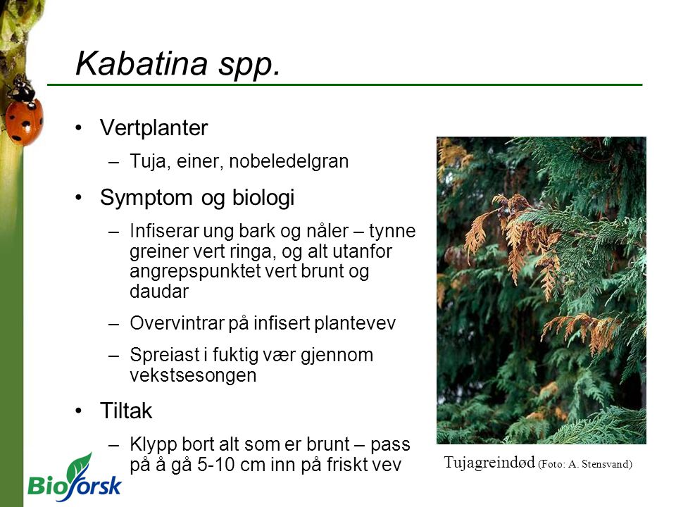 Kabatina spp. Vertplanter –Tuja, einer, nobeledelgran Symptom og biologi –Infiserar ung bark og nåler – tynne greiner vert ringa, og alt utanfor angre