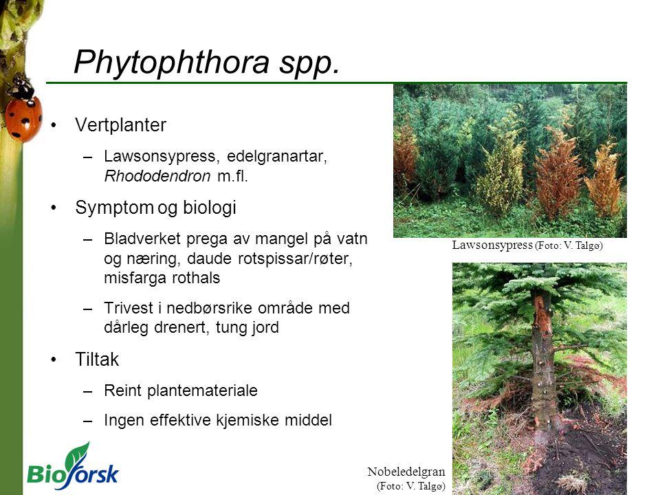Phytophthora spp. Vertplanter –Lawsonsypress, edelgranartar, Rhododendron m.fl. Symptom og biologi –Bladverket prega av mangel på vatn og næring, daud